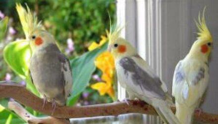Попугаи корелла:особенности содержания в домашних условиях