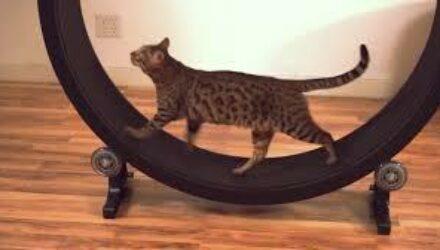 Ученые из Кореи придумали «умную» беговую дорожку для кошек