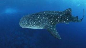 Самку китовой акулы признали самой большой рыбой