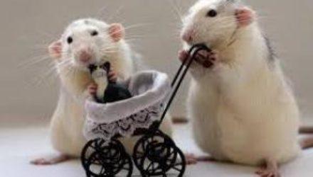 Самки мышей не смогли набрать мышечную массу без рецептора к эстрогену