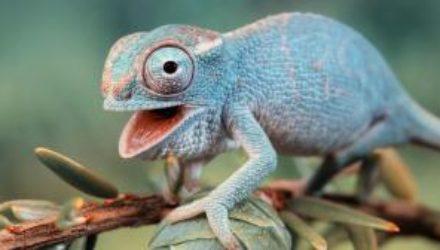 Новый хамелеон с Мадагаскара оказался самой маленькой рептилией