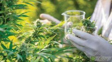 Медицинская марихуана может спасти от хронического зуда